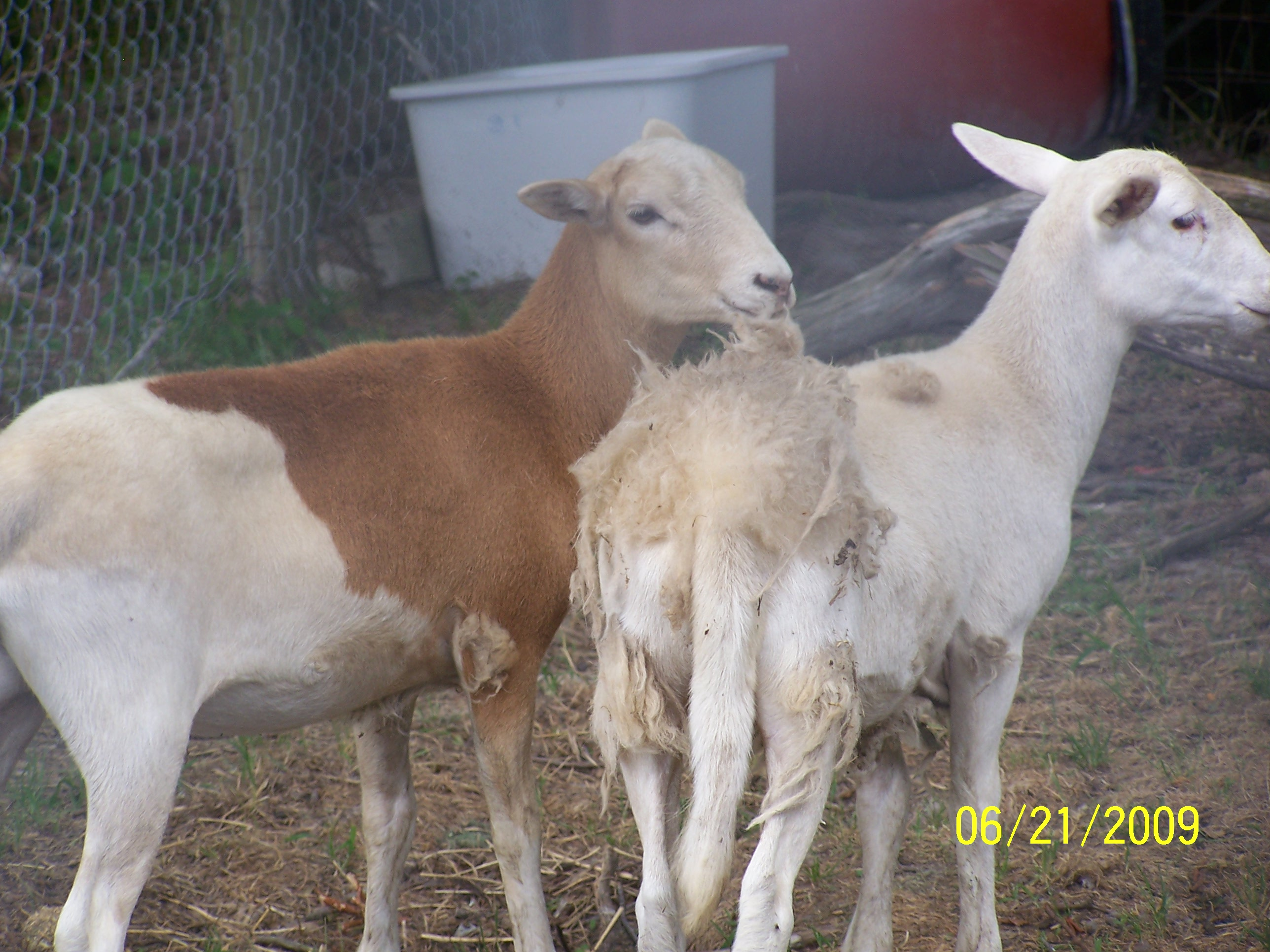 SOME OF OUR FIRST LAMBS