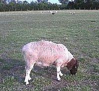 My Very nice Dorper Ram