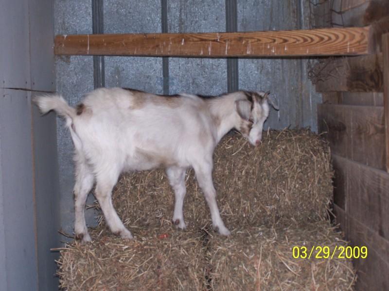Goat Climbing..